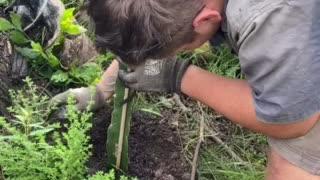Dragon fruit planting.