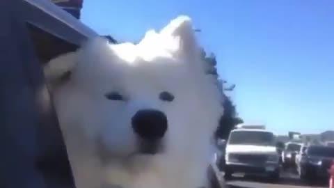 The siren dog.