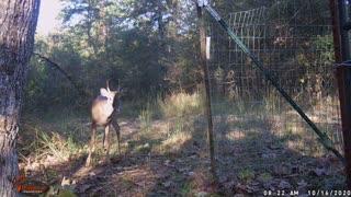 Autumn Deer 2020