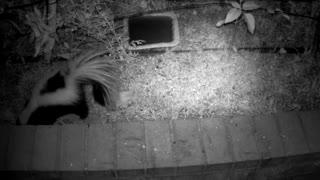 Night Vision Skunk