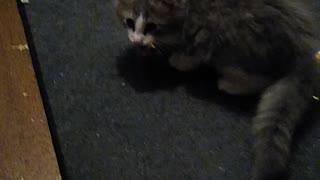 Kitten steals chicken bone
