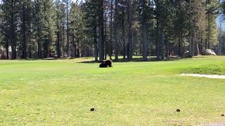 Black Bear Cubs Wrestle on Golf Course