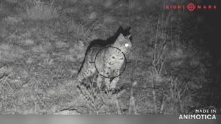 Beautiful bobcat stalking