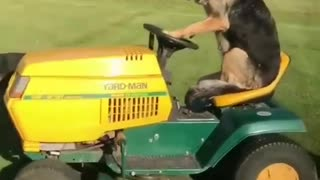 HAVE YOU NEVER SEEN A GERMAN SHEPHERD DRIVING?