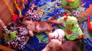Phoenix Ridge Boxers, happy little pups!