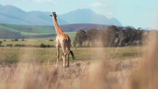 giraffe hight