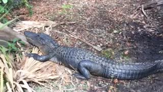 Alligators Block Path Through Florida Everglades