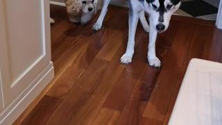 Husky making new friends