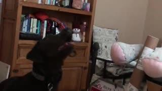 Charcoal Labrador Loves Playing Beach Ball