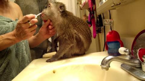 Lipstick addicted monkey
