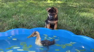 German Shepherd Puppy Meets Baby Duckling for the First Time