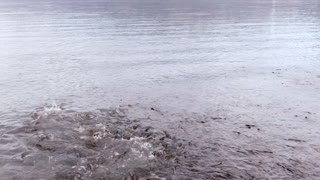 Valdez Salmon Run from the Sky