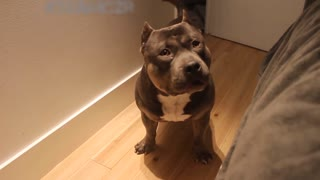 Talking dog Czr._ American Bully is so smart..