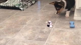 Corgi puppy shows ice cube who's boss