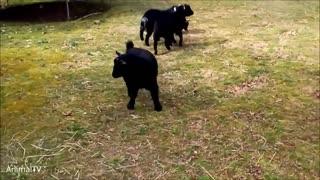Cute Corgi Dog running around chasing Compilation