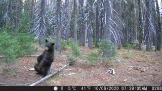 Bear Finds Perfect Back Scratcher
