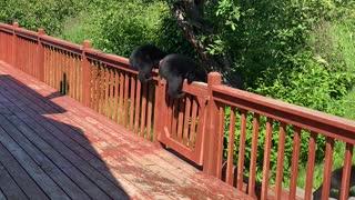 Black Bear Cubs Break Into Family Home