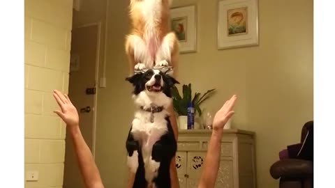 Two Talented Dogs Perform Unbelievable Balancing Trick