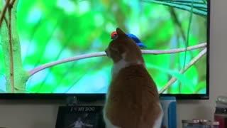 Cat watches wildlife documentary, tries to catch birds on TV