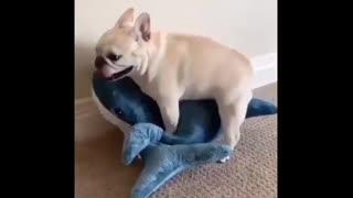 Funny Dog vs Shark video