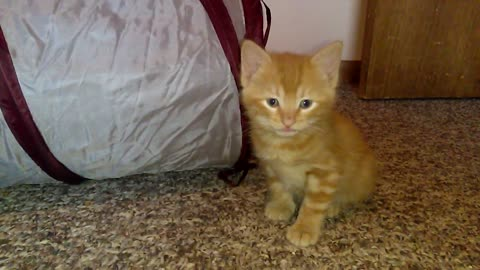Tiny Kitten Has An Even Tinier Voice!