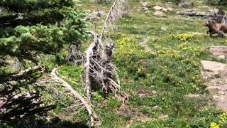 Bear Chases Mountain Goats Near Hiking Trail