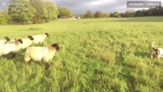 Esta cadela é a pastora de ovelhas mais improvável do mundo