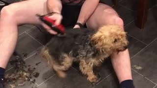 Dog exhibits hysterical dance during haircut session