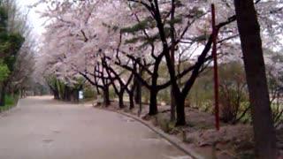 2007-04-12 Cherry Blossoms @ Seoul