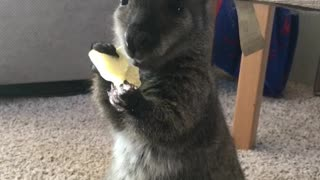 Young Wallaby Munches on A Potato Chip