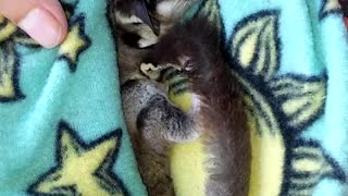 Cute Sleeping Sugar Glider😊