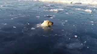 Beautiful polar bears