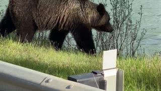 Large Grizzly Calmly Crosses Bridge