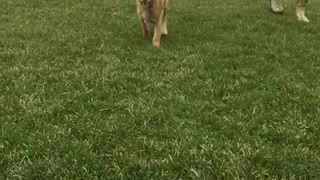 Golden retriever puppy run