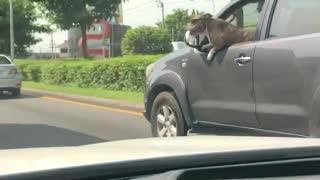 Stylish Dog Enjoys Car Ride on a Sunny Day