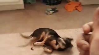 Little dog, big tricks!