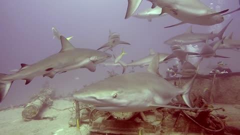 Large gathering of sharks swim around wreck