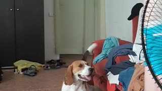 Beagle wants to play
