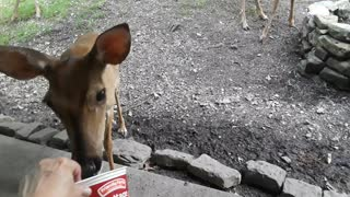 Whitetail Deer: Quarantining With Nature