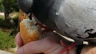 Friendly Pigeon Feeding