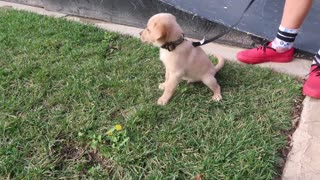 Puppies trying hoverboards