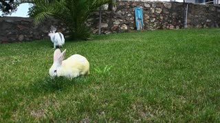 Adorable White Bunny Rabbits Eating Together