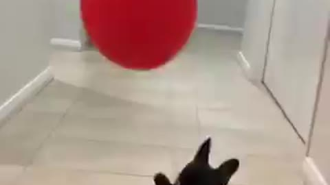 Adorable puppy trying to catch the baloon
