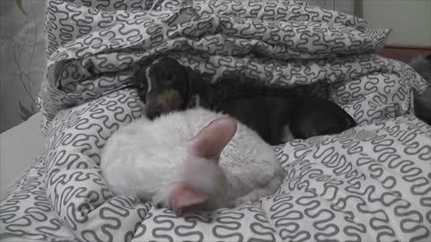 Dachshund puppy wants cat to wake up