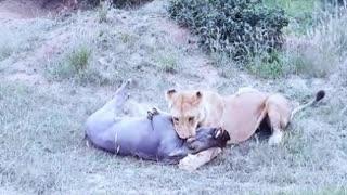 lioness versus boar