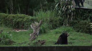North American black bear
