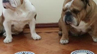 Naughty English Bulldog cheats during 'leave it' challenge