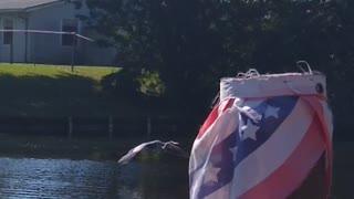 Great blue heron skipping
