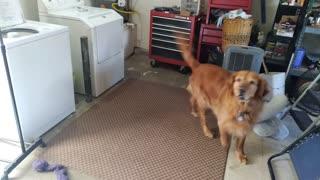Golden retriever ball search dog
