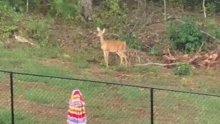 Tiger stalks a Deer